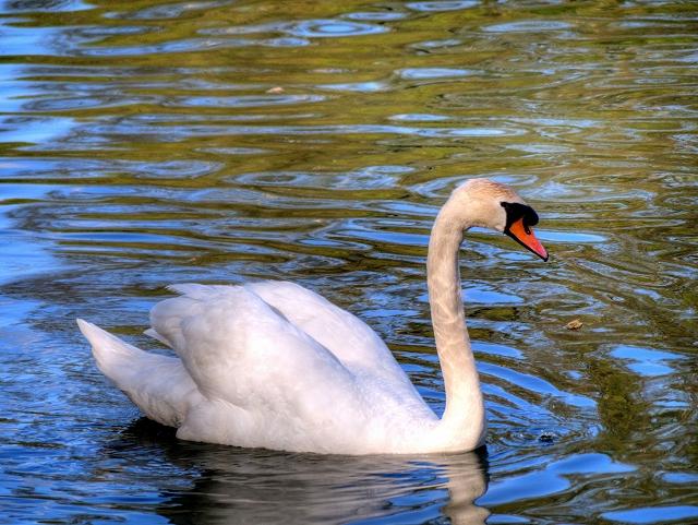 Mute Swan at Heaton Park