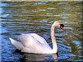 SD8303 : Mute Swan at Heaton Park by David Dixon