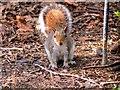 SD8303 : Grey Squirrel at Heaton Park by David Dixon