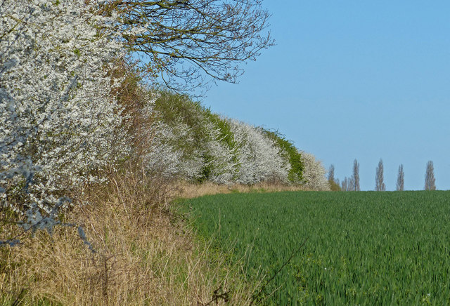 Hedgerow next to Stoneleigh Road