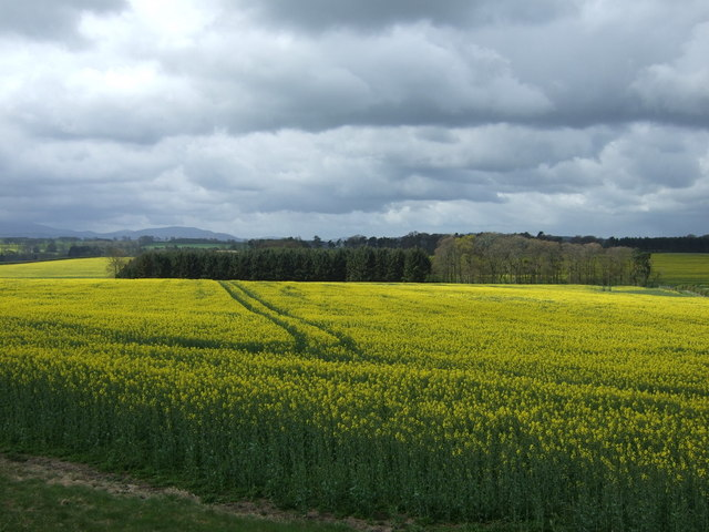 Oilseed rape crop near Holburn
