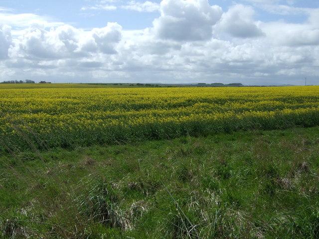 Oilseed rape crop near Greenhill