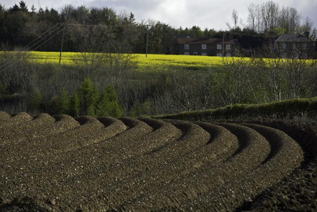 Potato field, near Fimber Nab, E Yorks