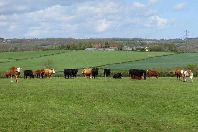 Cows at Buckholt Farm