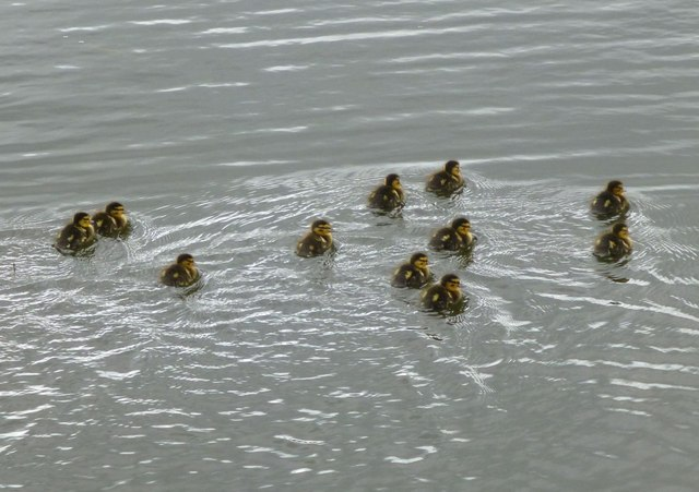 A flotilla of ducklings