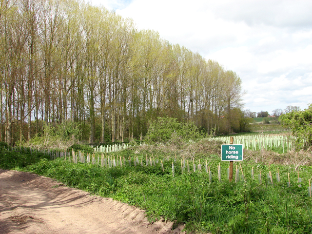 Poplars by Burton's Farm