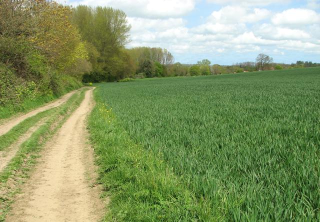 Footpath past wheat crop field