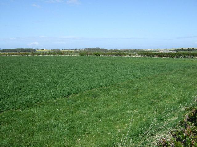 Crop field near Tughall Mill