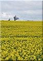SE8760 : Fridaythorpe Field, East Yorks by Paul Harrop
