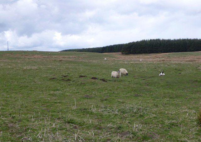 Sheep on Hangwell Law