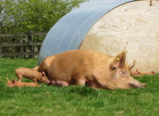 Tamworth pig and piglets; Lost Gardens of Heligan