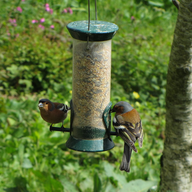 Chaffinches at the Lost Gardens of Heligan