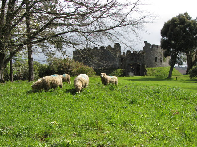 Sheep at Restormel Castle