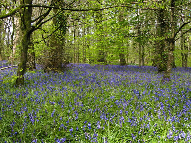 Bluebell woods near Lanhydrock House