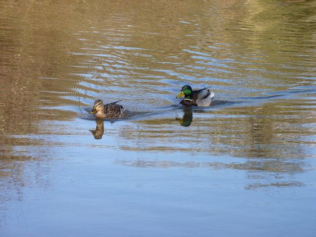Ducks on Worcester-Birmingham Canal
