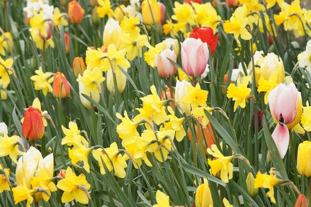 Flowering bulbs in the flower park, Lerwick