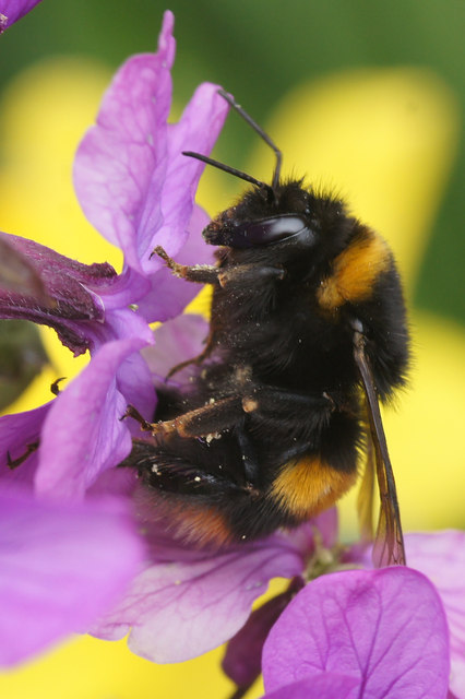 Buff-tailed Bumblebee (Bombus terrestris), Lerwick