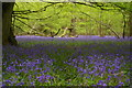 TQ4659 : Bluebells in Birches Croft by Christopher Hilton