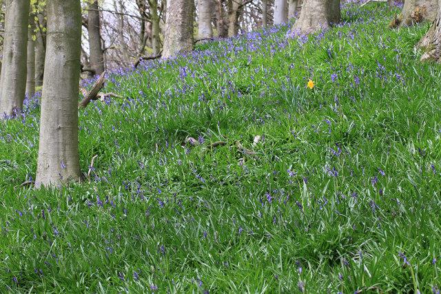 Lone daffodil in a bluebell wood
