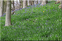 SE6198 : Lone daffodil in a bluebell wood by Pauline E