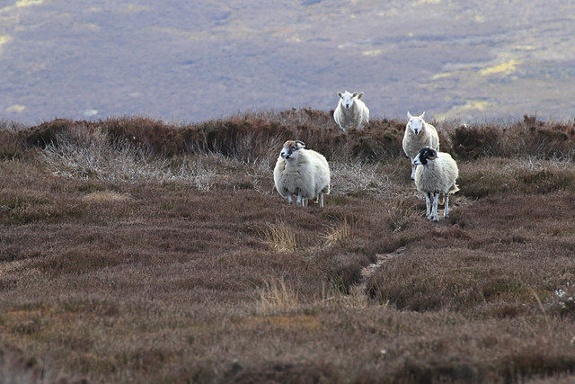 Bransdale sheep