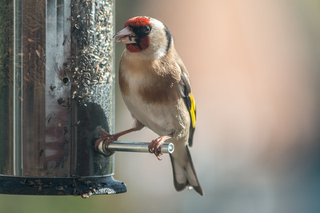 Goldfinch, London N14