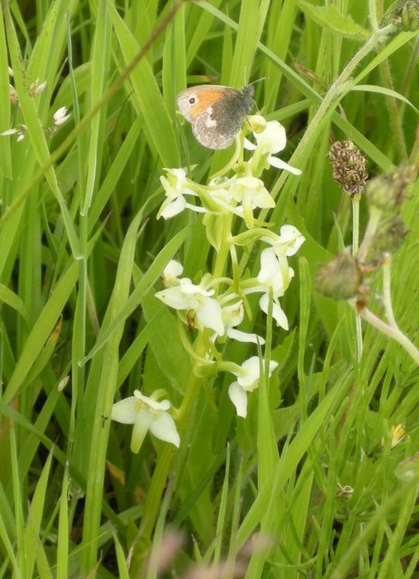 Butterfly and Butterfly Orchid