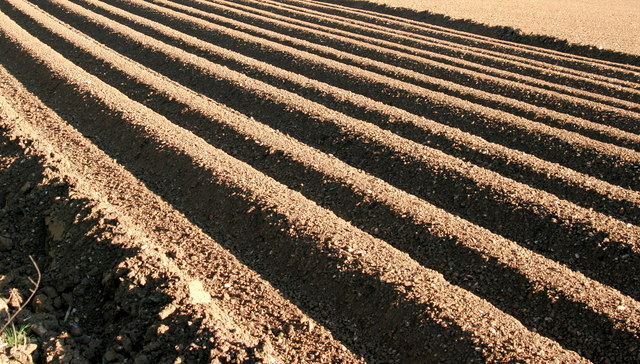 Furrows in a potato field