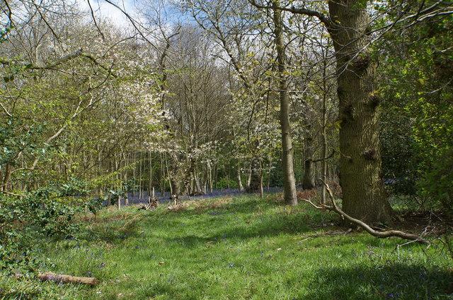 Fring Wood bluebells