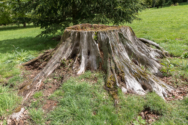 Remains of a Tree, Copped Hall, Essex