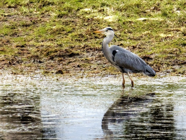 Grey Heron; Manchester, Bolton and Bury Canal