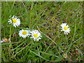 SK9828 : Bellis perennis by Bob Harvey