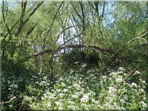 SP2865 : Willows in the northeast corner of Priory Park, Warwick by Robin Stott