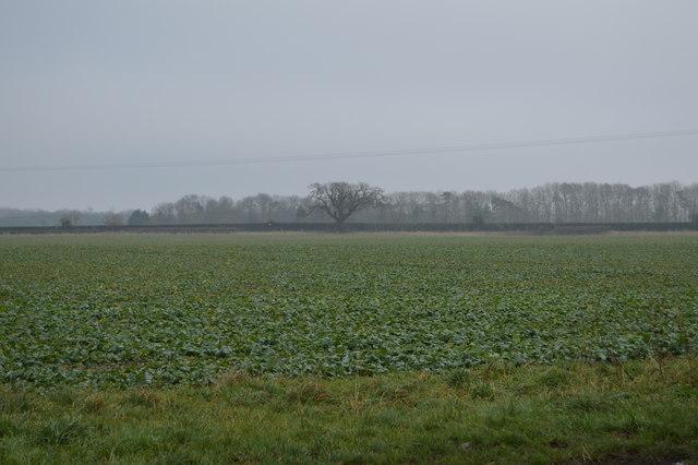 A field of beet