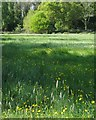 SP2865 : Buttercups and Meadow Foxtail Grass in old unimproved grassland, Priory Park, Warwick by Robin Stott