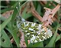 NJ1654 : Orange Tip Butterfly by Anne Burgess
