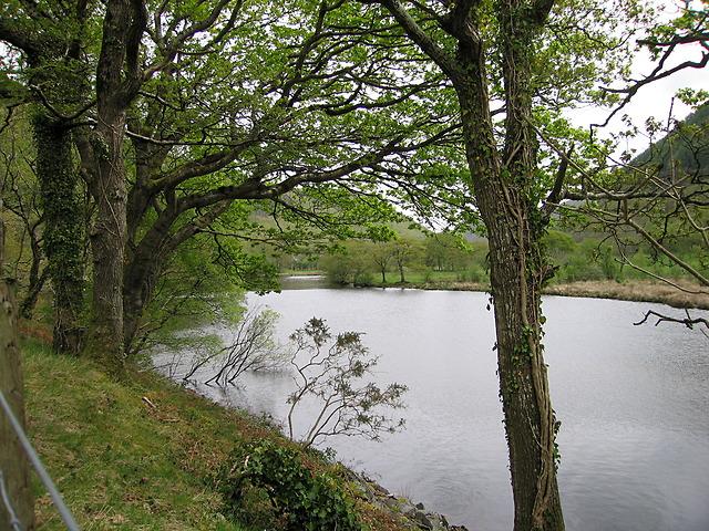 Ivy-covered trees by the Afon Rheidol
