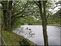 SN7079 : Ivy-covered trees by the Afon Rheidol by Rudi Winter