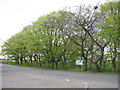 NT0063 : Roadside beeches at Addiewell by M J Richardson