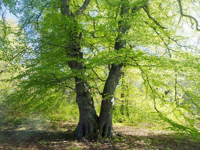 Beech tree in Drummondreach Oak Wood