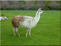 NJ1736 : Llama in the grounds of Ballindalloch Castle by Oliver Dixon