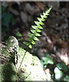 SX9065 : Fern, Chapel Hill Pleasure Grounds by Derek Harper