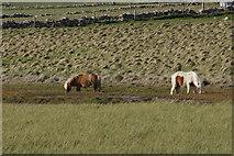HP6312 : Shetland ponies beside Haroldswick pool by Mike Pennington