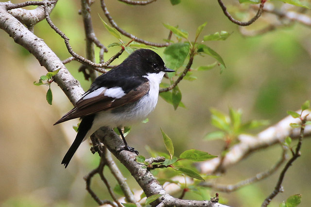 Pied flycatcher, male