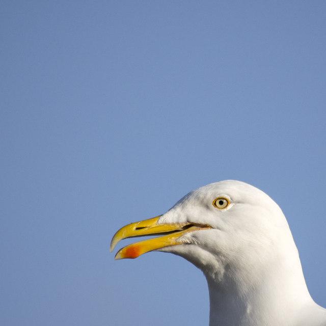 Herring Gull, Bangor