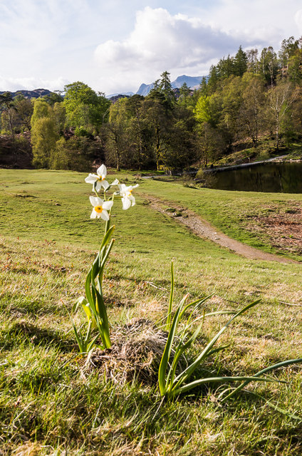 Narcissus, Tarn Hows