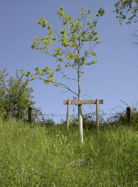 The Diamond oak