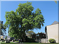 TQ3379 : Large plane tree, St Mary's Churchyard, Bermondsey by Stephen Craven