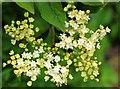 SO7740 : Elderflowers just opening by Bob Embleton