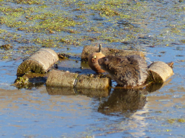 Water vole, Magor Marshes